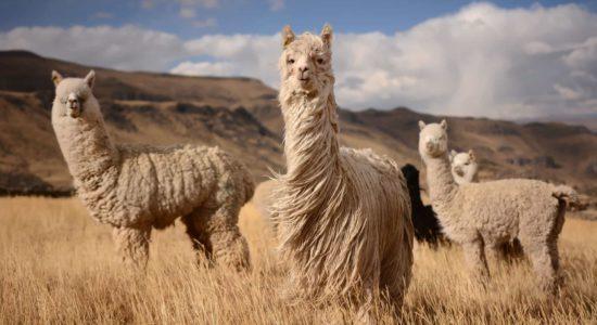 alpaca-background